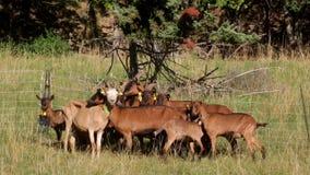 山羊小牧群的特写镜头在被操刀的 影视素材