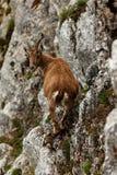 山羊属高地山羊 免版税库存图片