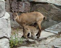 山羊属cylindricornis达吉斯坦山羊 免版税库存图片