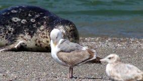 山羊岩石海滩-西北索诺马县,加利福尼亚,封印在俄国河的嘴 股票视频