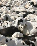山羊市场 免版税库存照片