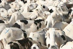 山羊市场 图库摄影