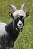 山羊年轻人 免版税库存图片