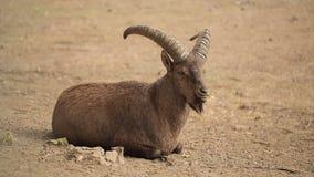 山羊座在动物园里 影视素材