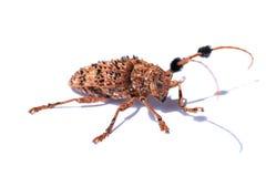 山羊座甲虫(长有角,有长触角) Batocera rufomaculata 库存图片