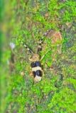 山羊座甲虫 免版税图库摄影
