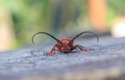 山羊座甲虫 库存图片