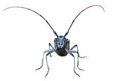 山羊座甲虫15 库存照片