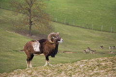 年轻山羊座 库存照片