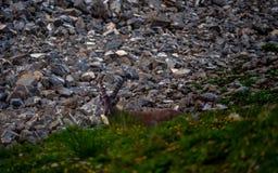 山羊座Steinbock站立在与大垫铁的一陡峭的山石头峭壁sideview的山羊属高地山羊 免版税库存照片
