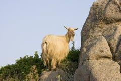 山羊意大利通配的撒丁岛 免版税图库摄影