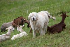 山羊护羊狗和牧群  免版税库存照片
