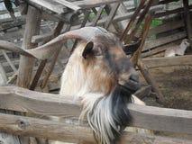 山羊放松 免版税库存图片