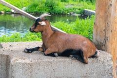 山羊放松 免版税库存照片