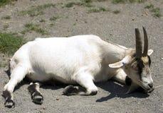 山羊放置 免版税库存图片