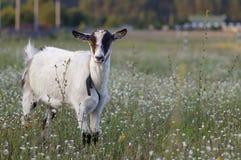 山羊无角的年轻人 免版税库存照片