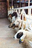 排序山羊 免版税库存照片