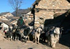 山羊有蓬卡车同行陪从Simikot地区的物品,尼泊尔 库存照片