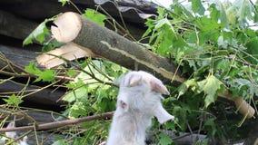山羊果皮从槭树分支咆哮 股票视频