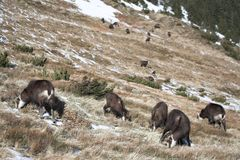 山羊栖所牧群山自然他们 免版税库存照片