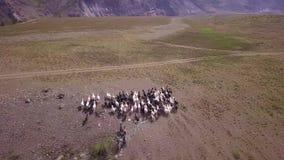 山羊横跨阿尔泰疆土吃草并且跑,俄罗斯的领域 鸟瞰图高地 影视素材