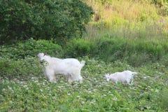 山羊母亲和女儿 图库摄影