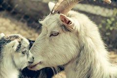 山羊母亲和她的孩子 库存照片