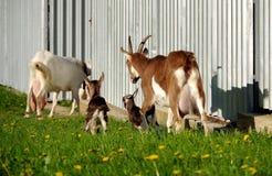 山羊母亲和小山羊 库存照片
