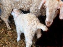 山羊母亲看护 免版税图库摄影