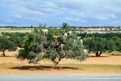 山羊爬上圆筒芯的灯树吃它的坚果 免版税库存照片