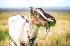山羊牧场地夏天 免版税图库摄影