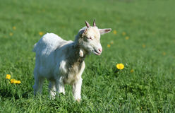 山羊牧场地年轻人 库存图片