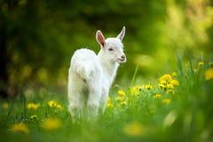 山羊牧场地 免版税图库摄影