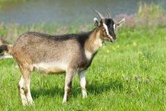 年轻山羊牧场地 免版税库存图片