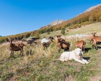 山羊牧群与牧羊犬的在草甸 免版税图库摄影