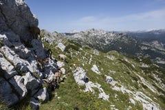 山羊牧群在一个岩石上升在斯洛文尼亚的阿尔卑斯 免版税库存照片