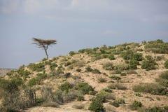 山羊牧群在埃塞俄比亚的沙漠 库存图片