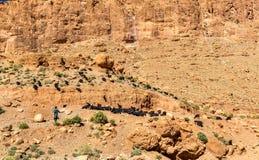 山羊牧群在托德拉的狼吞虎咽,摩洛哥 图库摄影