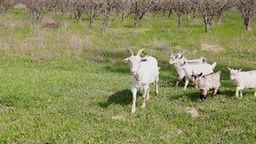 山羊牧群在有绿草的庭院里在春天 影视素材