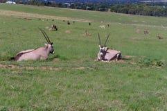 山羊牧群在草吃草并且睡觉 免版税库存图片
