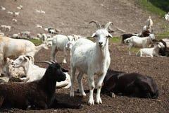 山羊牧群在Altay,俄国 免版税库存照片