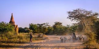 山羊牧群在Bagan,缅甸(缅甸) 免版税库存照片