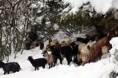 山羊牧群季节冬天 免版税库存照片
