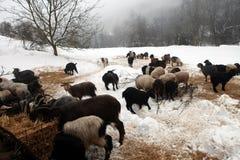 山羊牧群季节冬天 图库摄影