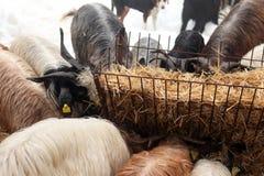 山羊牧群季节冬天 免版税图库摄影