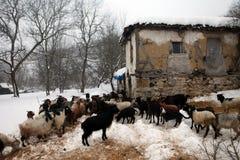 山羊牧群季节冬天 库存图片