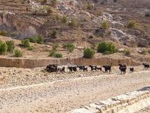 山羊牧群季节冬天 免版税库存图片