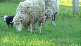 山羊牧群散步 有大山羊和孩子 他们吃草 股票视频
