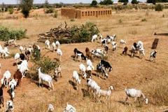 山羊牧群,马里 免版税库存照片