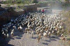山羊牧群, Palomares,安达卢西亚 库存图片